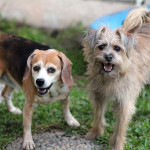 Charlotte and Jackson, the beagle and the terrier. Theri owners tell the story of how they saved their dogs life and healed him with alternative medicine.